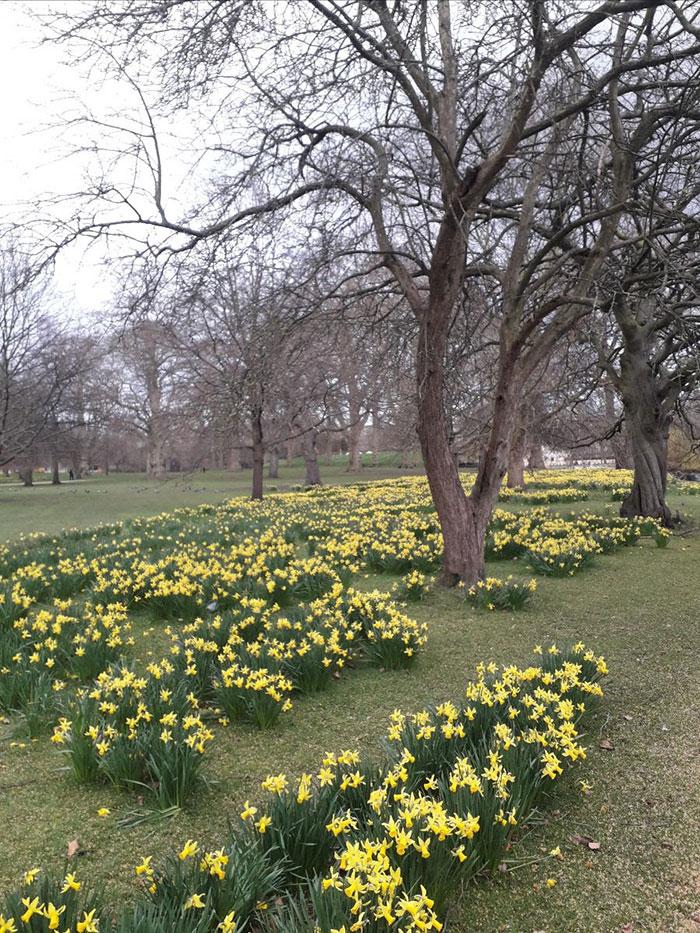 Catherine's Daffodils